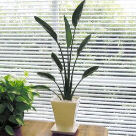 ■観葉植物■【送料無料】ストレリチア レギネ17cm陶器鉢植えホワイト・ブラック九州・北海道・沖縄へのお届けは別途送料が掛かります