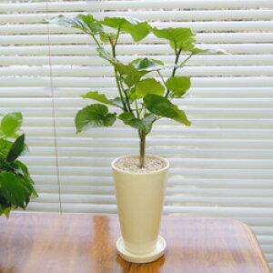 ■観葉植物■【送料無料】ウンベラータ12cm陶器鉢植えホワイト・ブラック九州・北海道・沖縄へのお届けは別途送料が掛かります