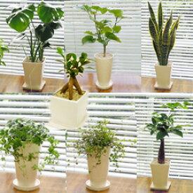 ■観葉植物■【送料無料】スタイリッシュ陶器鉢植え お好みのを選んで3鉢セット九州・北海道・沖縄へのお届けは別途送料が掛かります