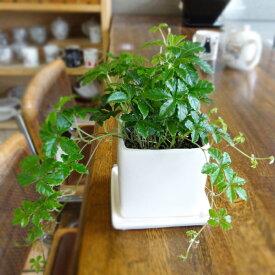 ■観葉植物■【送料無料】シュガーバイン□9cmスクエア スタイリッシュ陶器鉢植え (白)受け皿つき九州・北海道・沖縄へのお届けは別途送料が掛かります