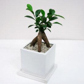 ■観葉植物■【送料無料】 ガジュマルスクエア□11.5cm白陶器鉢植え 受け皿付きホワイト・ブラック九州・北海道・沖縄へのお届けは別途送料が掛かります