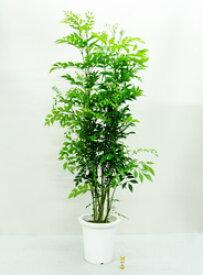 ■良品庭木■シマトネリコ8号鉢植え