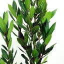 ■良品庭木■月桂樹・ローリエ(ゲッケイジュ)15cmポット苗