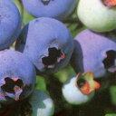 ■良品果樹苗■ブルーベリーブルージェイ5号ポット