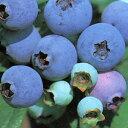 ■良品果樹苗■ブルーベリーティフブルー5号ポット