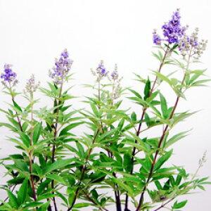 ■季節の花木■西洋ニンジンボク 青花10.5cmポット苗