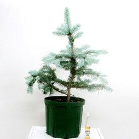■良品庭木■再入荷!スローグローイングコニファー ピセアプンゲンス ホプシー7号鉢植え