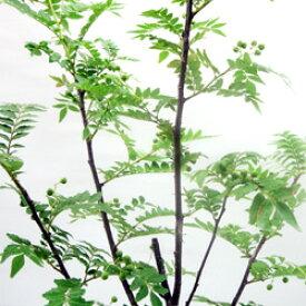 ■良品庭木■再入荷!朝倉サンショウ4〜5号ポット苗(現在芽出始め。)