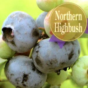 ■良品果樹苗■ブルーベリー【果実の大きさ最大品種】チャンドラー9cmポット苗