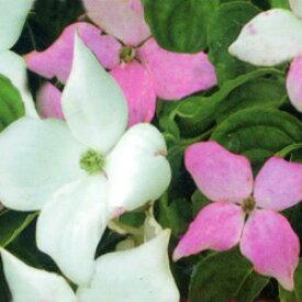 ■良品庭木■色移りヤマボウシ源平ヤマボウシ夢心5号ポット苗