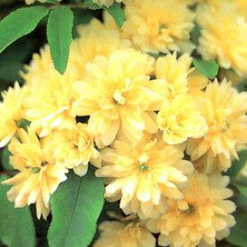 ■良品庭木■モッコウバラ 八重黄色9cmポット苗