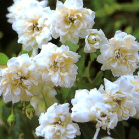 ■良品庭木■モッコウバラ 八重白色9cmポット苗