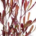 ■良品庭木■ドドナエア ヴィスコサ プルプレアポップブッシ9〜10.5cmポット苗