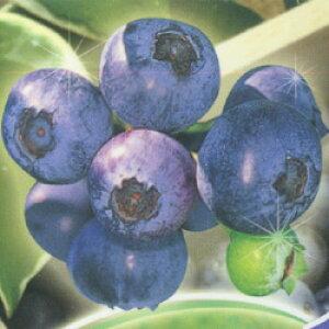 ■良品果樹苗■ブルーベリー サザンハイブッシュ系 サンシャインブルー15cmポット苗