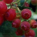 ■良品果樹苗■ブルーベリーハイブリッドブルーベリーピンクレモネード5号ポット