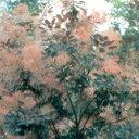 ■良品庭木■スモークツリー(ケムリノキ)ロイヤルパープル 10.5号ポット苗