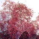 ■良品庭木■スモークツリー(ケムリノキ)グレース10.5cmポット苗