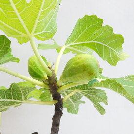 ■良品果樹苗■白イチジクイチジク バナーネ4号ポット植え