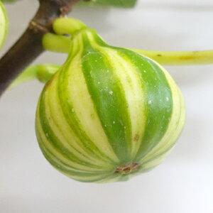 ■良品果樹苗■イチジク ゼブラスイート5号鉢植え