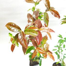 ■良品庭木■常緑モミジ レディーガタム3.5号ポット苗