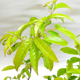 ■良品庭木■常緑モミジ ファブリ3.5号ポット苗
