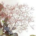 ■良品庭木■スモークツリー(ケムリノキ)ブラックレース 10.5号ポット苗