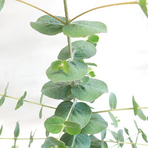 ■良品庭木■ネイティブプランツユーカリ クルセアナ9cmポット苗