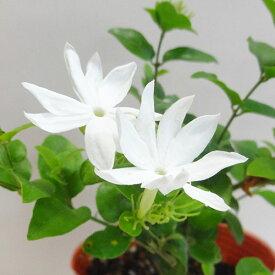 ■新鮮花壇苗■NEW!マツリカジャスミン花美人9cmポット苗