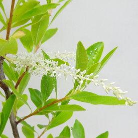 ■良品庭木■キリララセミフローラ(常緑)ナイアガラツリー3.5号ポット苗