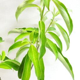 ■良品庭木■常緑山ぼうし ヤマボウシ金陽10.5cmポット植え