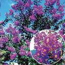 ■良品庭木■NEW!サルスベリ ディアパープル4号ポット苗