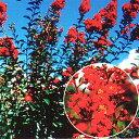 ■良品庭木■NEW!サルスベリ ディアルージュ4号ポット苗
