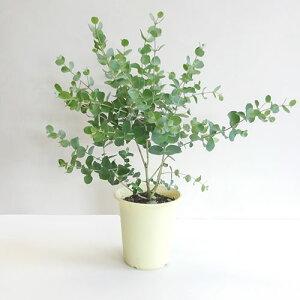 ■良品庭木■こんもりと茂ったユーカリ グーニー4号鉢植え