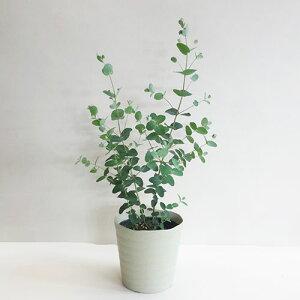 ■良品庭木■ユーカリ グーニー5号鉢植え
