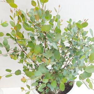 ■良品庭木■ユーカリ ディシピエンス(ハートリーフユーカリ)6号鉢植え