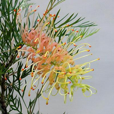 ■良品庭木■ネイティブ プランツ グレビレアピーチアンドクリーム5号鉢