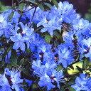 ■良品庭木■数量限定!ブルーツツジ ブルーライト12cmポット苗