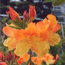 ■良品庭木■レンゲツツジ黄帝12cmポット
