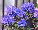 ■良品庭木■次回、秋ごろから販売いたします。ブルーツツジ紫光(青花)9cmポット