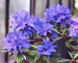 ■良品庭木■ブルーツツジ紫光10.5cmポット苗