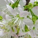■良品庭木■ヒマラヤ桜ポット苗