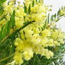 ■良品庭木苗■アカシア テレサ4号鉢植
