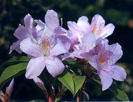 ■良品庭木■ウエキセイシカ聖紫花12cmポット苗