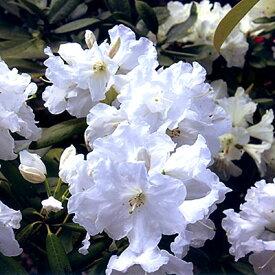 ■良品庭木■西洋シャクナゲヒラノ白4.5号ポット苗