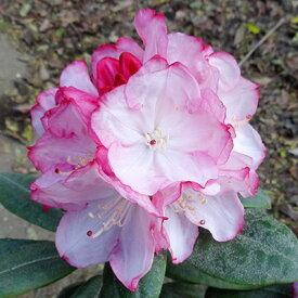 ■良品庭木■西洋シャクナゲ春風4.5号ポット苗