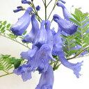 ■季節の花木■数量限定!ジャカランダ15cm鉢植え接木苗