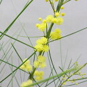 ■良品庭木苗■アカシアスブラタオールリーフワトル5号鉢植え