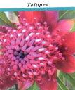 ■良品庭木■ネイティブ プランツ テロペア スペシオシッシマテロペア ワラタ5号プラ鉢植え