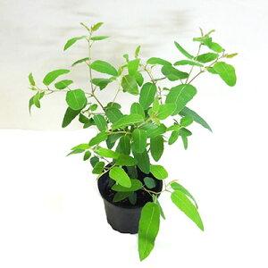 ■良品庭木■こんもりと茂ったレモンユーカリ4号プラ鉢植え