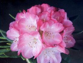 ■良品庭木■平野農園オリジナル品種!NEW!手毬咲き西洋シャクナゲヨコハマ3.5号ポット苗